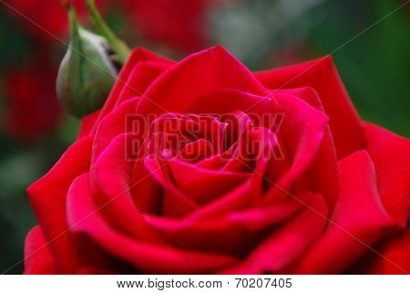close of rose
