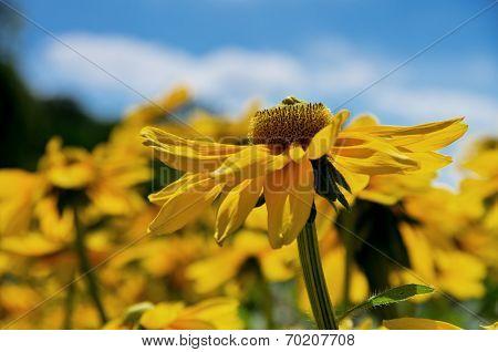 Yellow Coneflower - Rudbeckia Detail