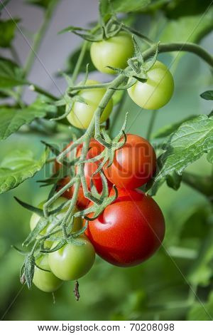 Branch Of Tomatoes In Greenhouse