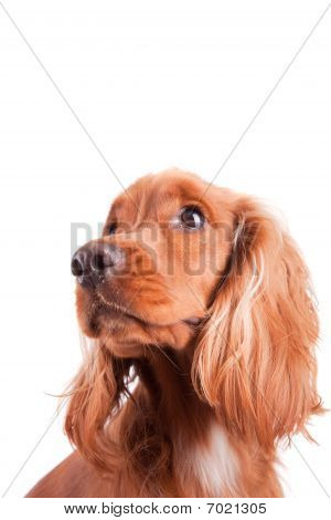 Baby Cocker Spaniel isolated over white background poster