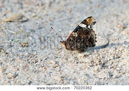 Red Admiral (Vanessa atalanta).Butterfly .