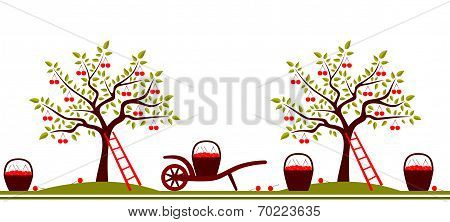 Cherry Harvest Border