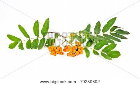 Wild Ash Or Sorbus, Or Sorb, Or Rowanberry, Or Rowan