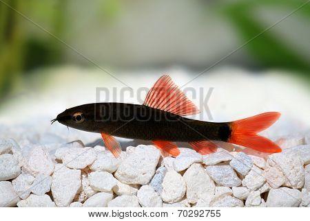 shark catfish (Epalzeorhynchos frenatum) red tailed