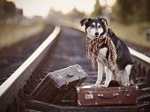 Dog on rails with suitcases. The dog looks for the house. The dog waits for the owner. The lost dog. Mongrel on the road. Dog on rails. Dog with suitcases. Not purebred dog on the road. Traveler. Vagrant dog. Tramp. poster