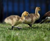 Baby geese following their mother on a spring day. poster