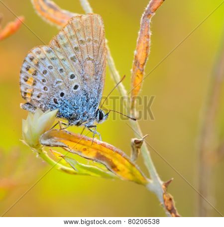 Butterfly Polyommatus Icarus