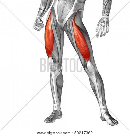 Concept or conceptual 3D rectus femoris human upper leg anatomy or anatomical and muscle isolated on white background poster