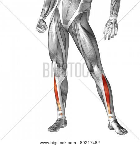 Concept or conceptual 3D tibialis anterior human lower leg anatomy or anatomical and muscle isolated on white background poster
