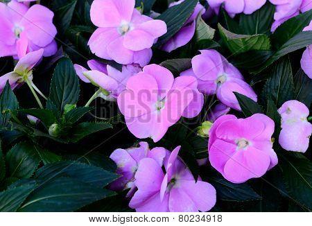 Impatiens Flower (impatiens Psittacina)