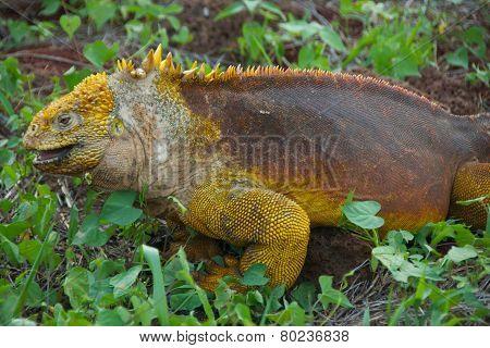 Land Iguana in Galapagos Islands