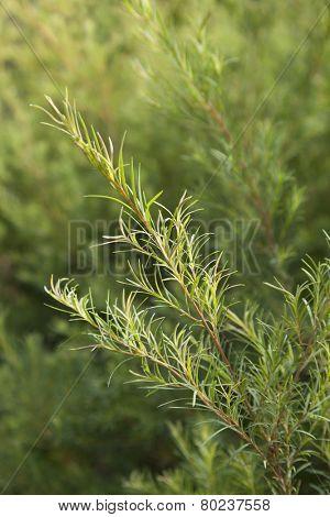 Sprig of a Tea tree plant