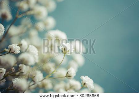 Gypsophila (Baby's-breath flowers), close up