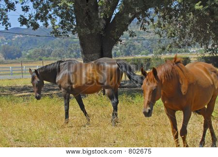 two horses in pasture poster