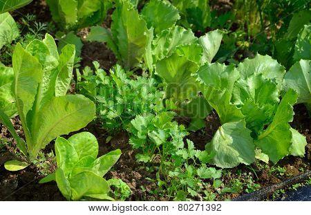 Lettuce And Coriander In Vegetable Garden.