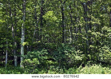 Beautiful Trees In Dense Forest In The Popular Blue Ridge  Mountains In Shenandoah National Park
