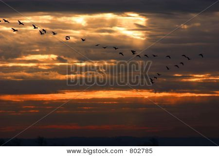 Geese migration in the sunrise. poster