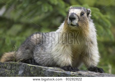 Groundhog With Green Background In Alberta. Canada