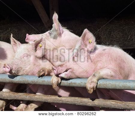 Pigs at the gate of their stable