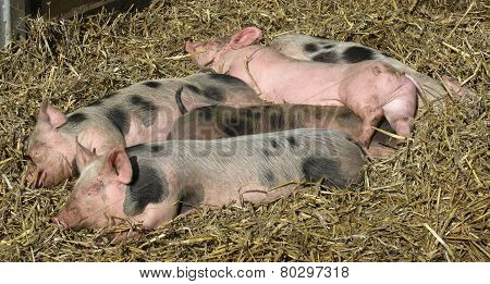 Baby pigs sleeping on the straw