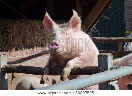 A pig in a stable