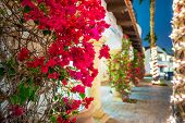 Flowering California. Beautiful Blooming Flowers in La Quinta. Winter in Coachella Valley United States. poster