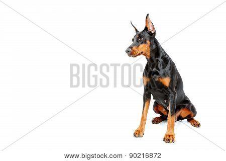 Sitting dobermann pinscher on white isolated background