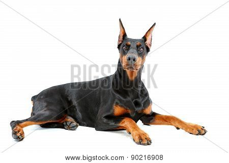 Doberman pinscher lying with important look