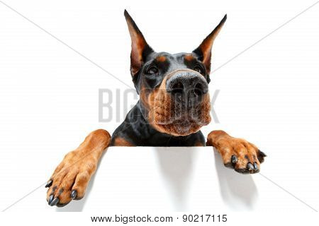 Close up of climbing doberman pinscher