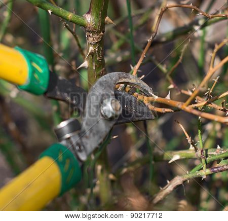 Pruning. Cutting branches in spring time. CLoseup view
