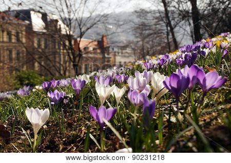 Spring In The City - Crocus Spring Meadow