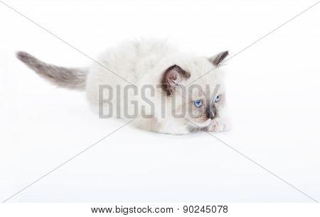 Cute Ragdoll Kitten