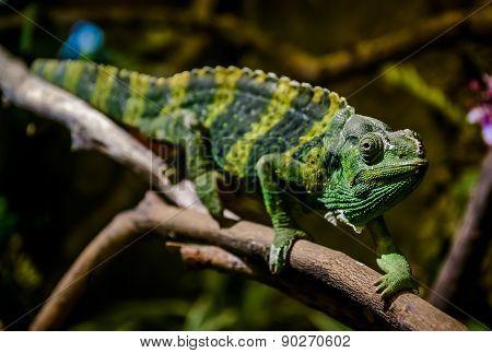 Meller's Chameleon On A Branch