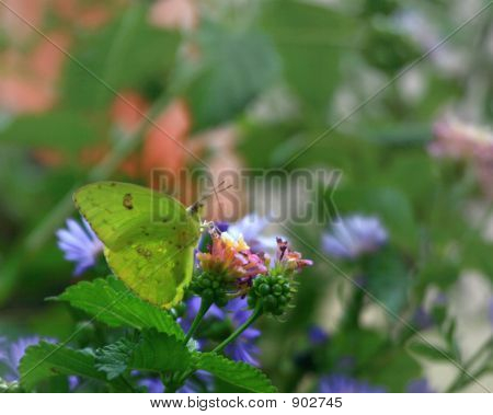 butterfly on a flower collecting nectar for food poster