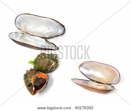 Veined Rapa Whelk And Shells Of Mussels