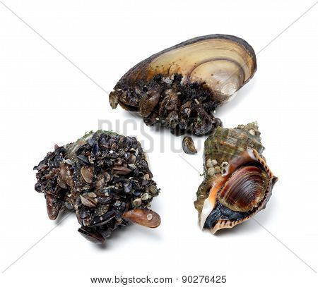 Veined Rapa Whelk And River Mussels (anodonta)