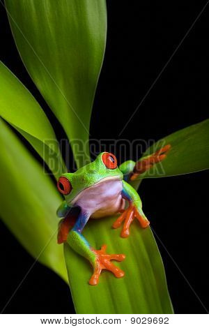 Frog On A Plant Isolated Black