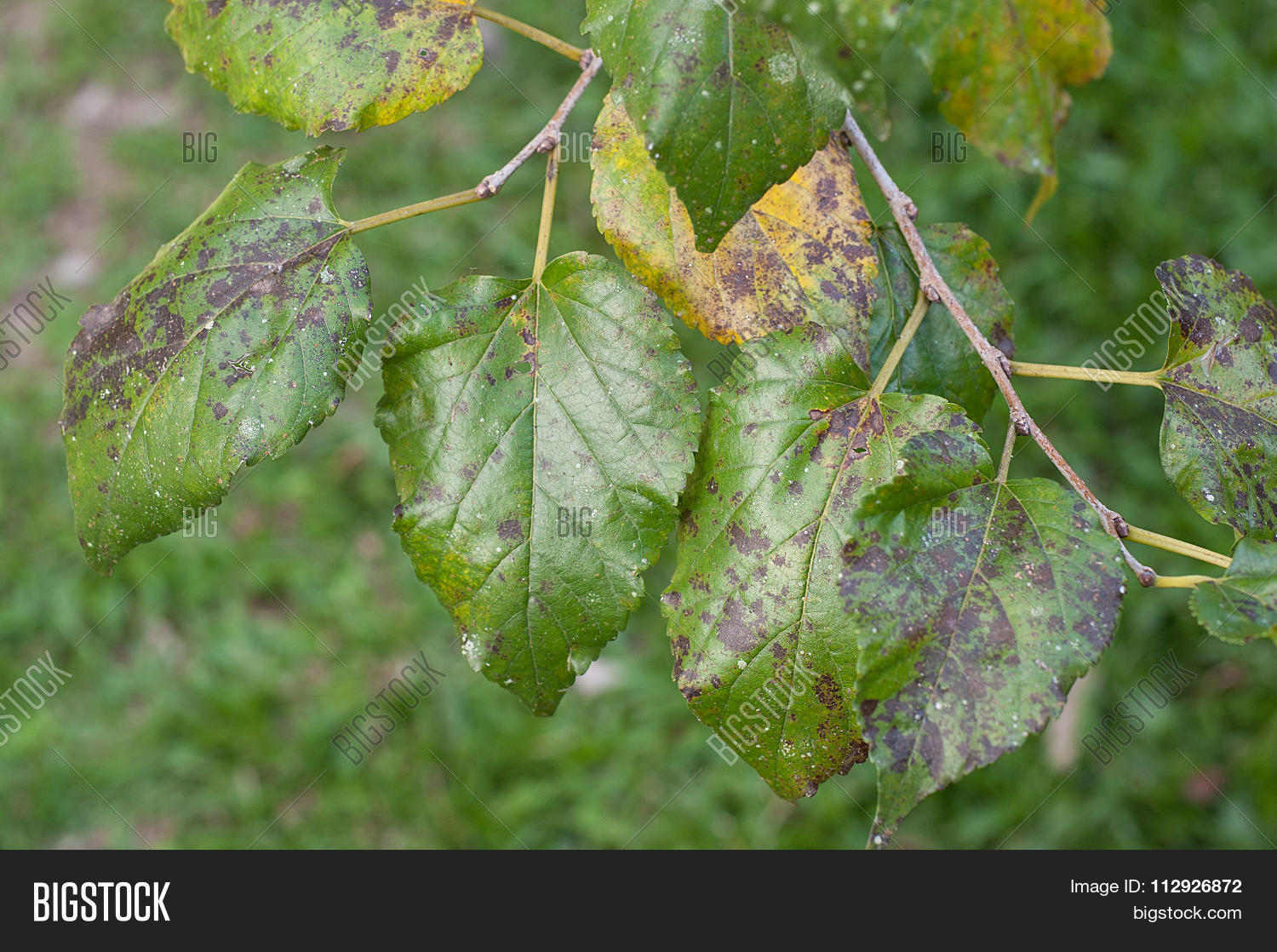 Plant Disease Image Photo Free Trial Bigstock