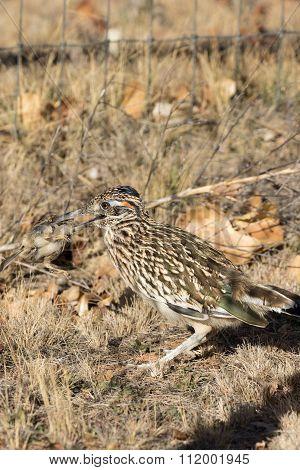 Roadrunner With Prey in Beak