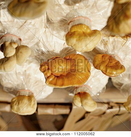Lingzhi Mushroom, Ganoderma Lucidum In Nursery Bag