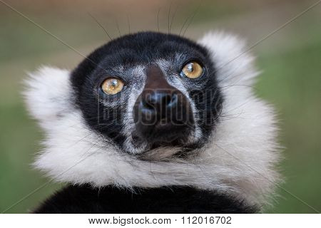 Black And White Ruffed Lemur Closeup