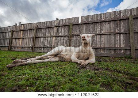 Funny Portrait Of Albino Kangaroo