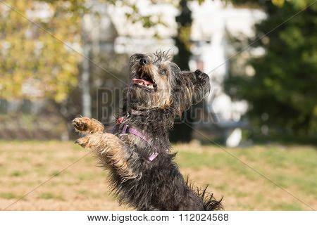 Mini dog yorkie  jumping and playing at a park.