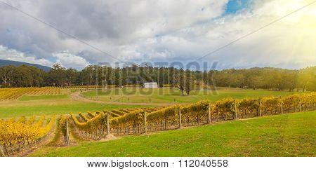 Vineyard In Yarra Valley, Australia At Sunset