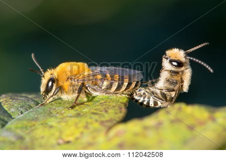 Ivy bees (Colletes hederae) mating