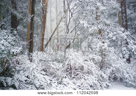 Eucalyptus Forest Covered In Snow In Winter, Australia