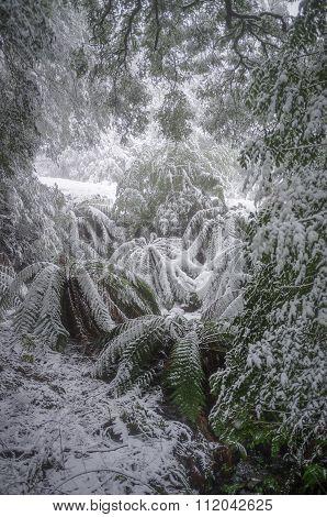 Ferns Covered In Snow, Victoria, Australia