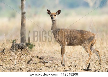 Female Bushbuck (tragelaphus Sylvaticus) In Very Poor Condition
