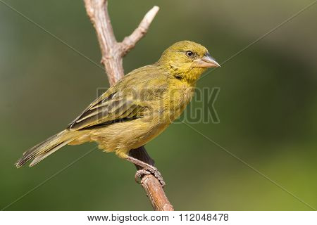 Large Golden Weaver (ploceus Xanthrops) Juvenile Perched On A Branch