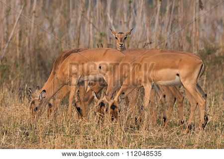 One Curious Female Impala (aepyceros Melampus) Within A Grazing Group